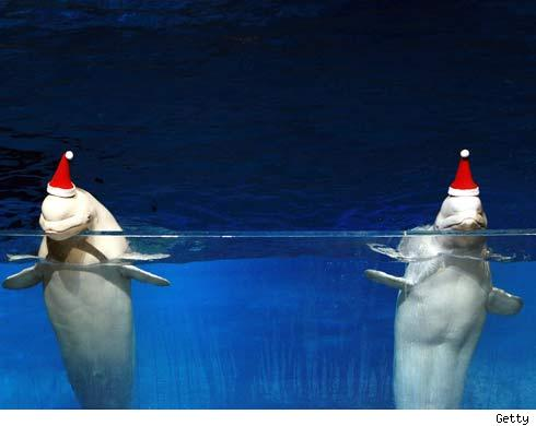 dolphins with santa hats