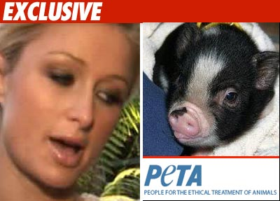Paris Hilton Tea cup pig
