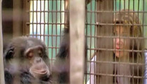 Bubbles the Chimp Disses La Toya Jackson