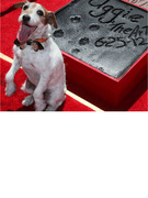 Uggie The Dog Leaves His Paw Prints in Cement!