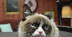 Grumpy Cat -- Pamprrrrd at Friskies Photo Shoot