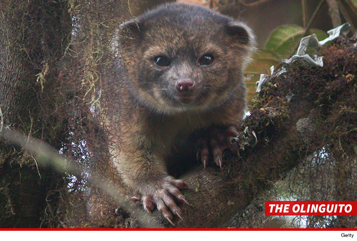 0404-olinguito-getty-01