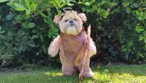 'Star Wars' Dog -- Ewok the Walk (VIDEO)