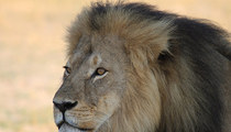 Cecil the Lion -- Bones Will Become a Memorial