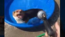Corgi Hates Doggy Pool ... And It's Hilarious (VIDEO)
