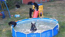 Beat the Heat - Family of Bears Take a Dip in a Pool