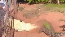 Cannibal Croc -- Bites Foot Off Other Croc in Feeding Frenz