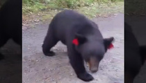 That's No Smokey -- Hiker Gets Crazy Close To Black Bears