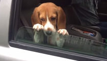 Adorable Beagle Puppy -- Please Don't Roll Up The Window (VIDEO)
