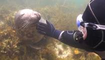 Underwater Cuteness -- Seal Loves Belly Rub By Diver