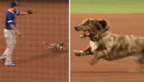 Wiener Dog On The Loose -- At The Ballpark ... Players Can't Catch