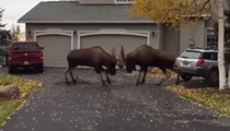Epic Moose Battle In Quiet Alaskan Suburb (VIDEO)