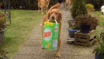 Adorable Golden Retriever Excited To Fetch The Famil