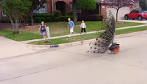 Peacock Petrifies Neighborhood Kids -- The Fight Or Flight Reaction!