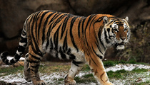 LSU's Tiger -- Beloved Mascot Diagnosed with Terminal Cancer