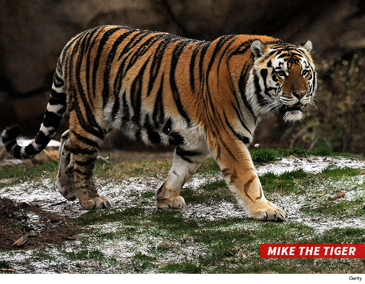 LSU's Tiger Beloved Mascot Diagnosed with Terminal Cancer