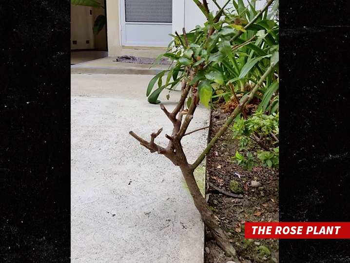 0217-the-rose-plant