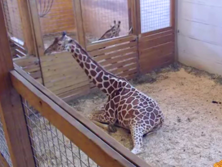April the Giraffe's vet suggests movement for birthing