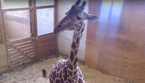 April the Giraffe's Zoo Isn't Panicked Baby Hasn't Dropped Yet