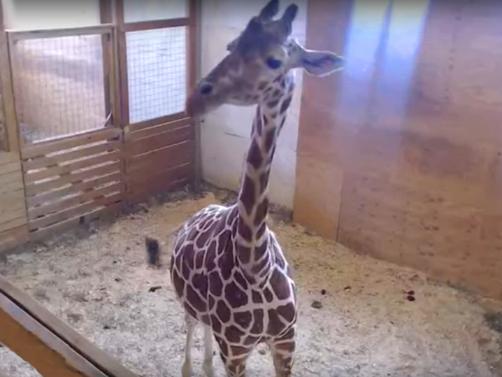 0315_april_the_giraffe-3
