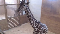 April The Giraffe Post Birth ... WATCH LIVE!!! (LIVE STREAM)