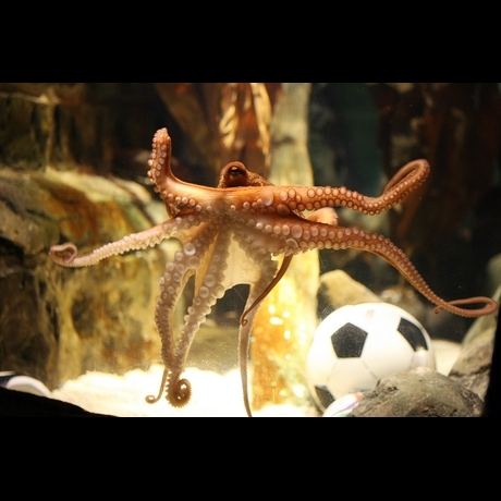 Remembering Paul the Octopus