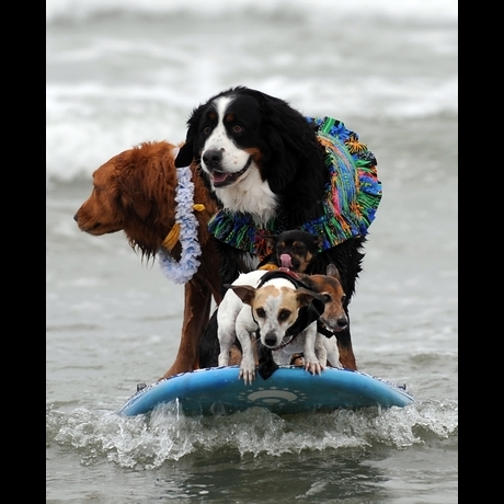 Surfing Dogs!