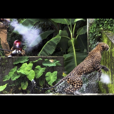Leopard Attacks 11
