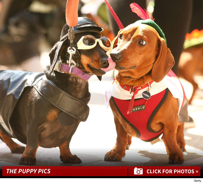 Adorable Dachshund Dog Racing In Melbourne -- Wiener Takes